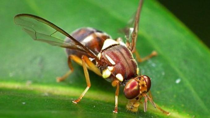 Diese kleine Fliege hat sich der unerlaubten Zuwanderung widersetzt.