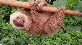 ... Eigentlich leben die faulen Tiere nämlich im Wald.