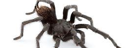 Spider in Black: Vogelspinne heißt jetzt Johnny Cash