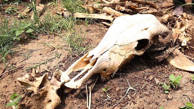 Infolge der Dürre fallen nicht nur Ernten aus - auch das Vieh stirbt.