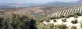 Eine Million Ölbäume befallen: Bakterium treibt Preis für Olivenöl