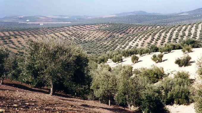 Uralte Nutzpflanze mit großer wirtschaftlicher Bedeutung: Nicht nur Olivenbauern sehen sich von dem Bakterium X. fastidiosa bedroht.