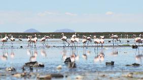 Es ist kaum noch Wasser da für die Flamingos.
