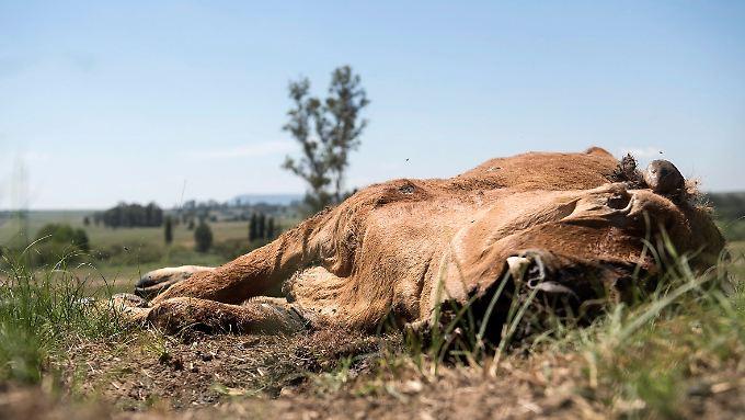 In Südafrika verendet das Vieh auf den Weiden. Es ist trocken wie seit 30 Jahren nicht.