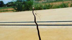Tote Schlange im Spinnennetz.