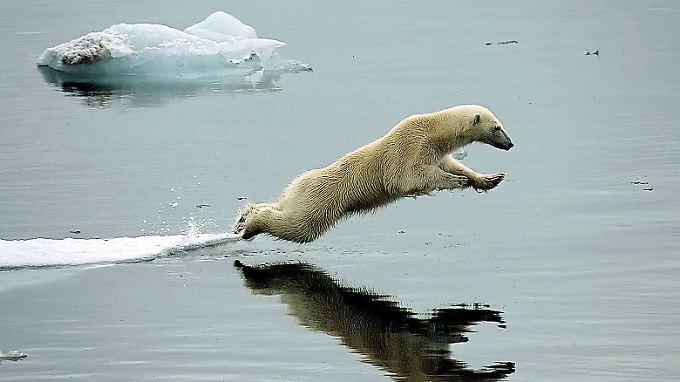 Der Lebensraum des Eisbären schrumpft durch den Klimawandel in rasantem Tempo.