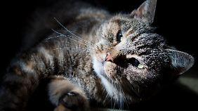 Toxoplasmose wird meist durch Katzen übertragen.