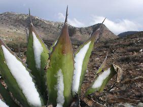Schnee in der Wüste: Frost erfasst die Landschaft bei Puerto de Duque im zentralmexikanischen Bundesstaat San Luis de Potosi.