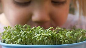 Gartenkresse wächst so gut wie überall.