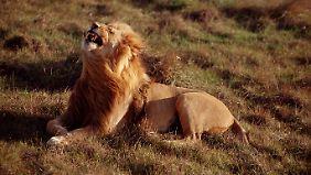 Die Löwen gehören zu den Tieren, die die meisten Besucher unbedingt aus der Nähe sehen wollen.