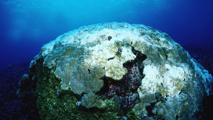 Am Great Barrier Reef gibt es immer mehr dieser weißen Korallen. Sie sind das Endergebnis der Korallenbleiche.