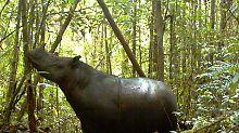 Versteckte Kameras zeichneten bereits 2013 ein Sumatra-Nashorn auf Borneo auf - zu fassen bekamen Tierschützer das Exemplar aber erst vor kurzem.