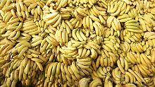 Die Panama-Krankheit könnte große Teile der globalen Bananenproduktion vernichten.