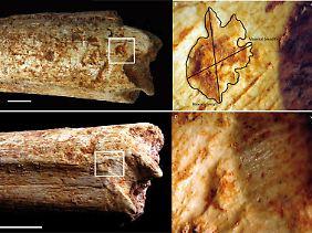An beiden Enden des Oberschenkelknochens eines 500.000 Jahre alten Homininen aus Marokko befinden sich Beißspuren, die von Fleischfressern stammen.