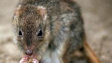 Das Bürstenschwanz-Rattenkänguru soll auf die Liste der bedrohten Arten aufgenommen werden. Foto: Katja Lenz/Archiv