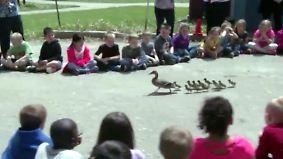 Kaum zu glauben, aber wahr: Entenauszug versetzt Grundschüler in helle Aufregung