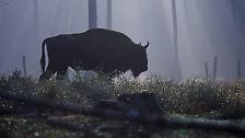 Wo 20.000 Arten zu Hause sind: Bialowieza: Europas letzter Urwald