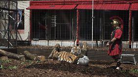 Wird dieser Tiger bald Flüchtlinge verspeisen?