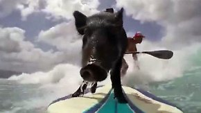Kaum zu glauben, aber wahr: Schwein surft mit seinem Herrchen auf den Wellen vor Hawaii