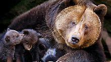 """Angst vor aggressiven Männchen: Bären suchen """"menschlichen Schutzschild"""""""