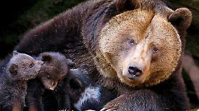 Eine Bärenmutter mit ihren Jungen.