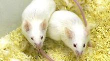 """Kompletter Schutz"" gegen das Virus: Zika-Impfung schlägt bei Mäusen an"
