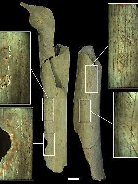 Verschiedene Kategorien menschgemachter Veränderungen an 40.500 bis 45.500 Jahre alten Neandertalerknochen aus Goyet.