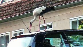 Glambeck wartet auf den Herbst: Storch Ronny hackt auf Autos und Scheiben ein