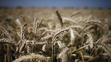 Genmanipulierte Pflanzen entdeckt: Bundesregierung prüft Verbot für US-Weizen