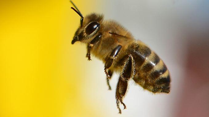 Wildbienen sind im Gegensatz zu Honigbienen oft als Einzelgänger unterwegs.