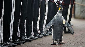 Maskottchen der norwegischen Leibgarde: Pinguin Nils Olav wird zum General ernannt