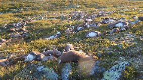 Kaum zu glauben, aber wahr: Blitze töten Hunderte Rentiere in Norwegen
