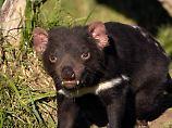Resistenz bei ansteckendem Krebs: Tasmanische Teufel überleben vielleicht doch
