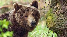 Mann in Norditalien verletzt: Bär fällt Spaziergänger an