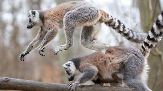 Vermutlich organisierte Kriminalität: 13 seltene Katta-Affen aus Tierpark Thüle gestohlen
