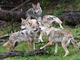 Bald schon in den Niederlanden: Wölfe ziehen immer weiter westwärts