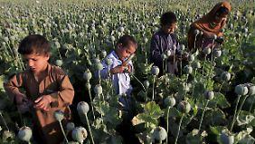 In diesem Jahr könnte die Ernte um die 4800 Tonnen Opium ergeben.