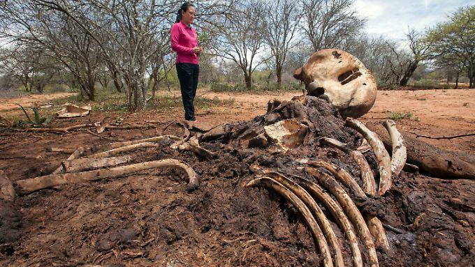 Von Wilderern getöteter Elefant in Kenia.