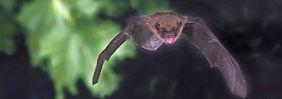 Schnellste Flieger im Tierreich: Fledermäuse übertreffen Vögel