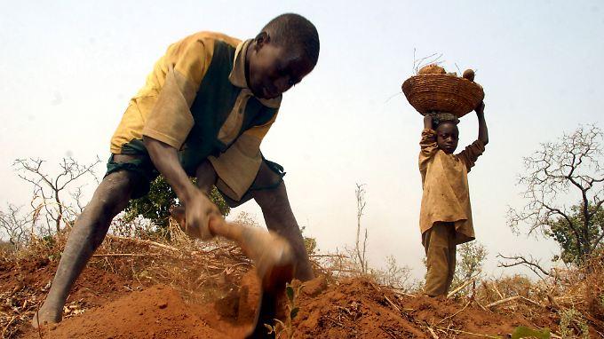 Yamswurzel-Ernte in Nigeria.