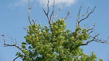 Uralte Baumart massiv gefährdet: Einwanderer-Pilz tötet Eschen