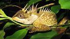 """Dürfen wir vorstellen? Das ist Acanthosaura phuketensis, eine drachenähnliche Eidechse, die - wie die Umweltschutzorganisation WWF findet - """"dem Reich aus Games of Thrones entsprungen sein könnte"""". Acanthosaura phuketensis ist eine von 37 Tierarten, die ..."""
