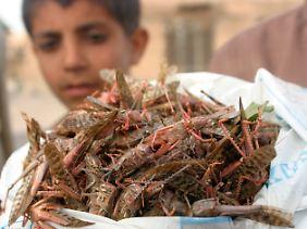 Im Jemen sind Heuschrecken schon heute ein beliebter Snack.