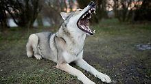 Dem Wolf zum Verwechseln ähnlich: Wolfshunde sorgen für Angst und Aufregung