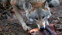 """Behörden geben Abschusserlaubnis: Görlitz jagt einen """"Problemwolf"""""""