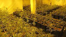 Ungeschickte Drogenzüchter in Bremen: Polizei stolpert über Cannabisplantage