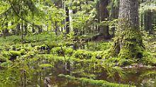 Ältester Urwald Europas: EuGH befasst sich mit Polens Kahlschlag
