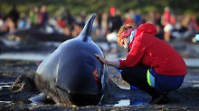 Tierschützer wollen versuchen, einige der gestrandeten Wale wieder zurück ins offene Meer zu geleiten.
