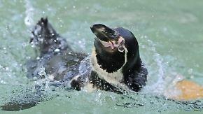 Boom auf dem Schwarzmarkt: Im Mannheimer Zoo verschwindet ein Pinguin