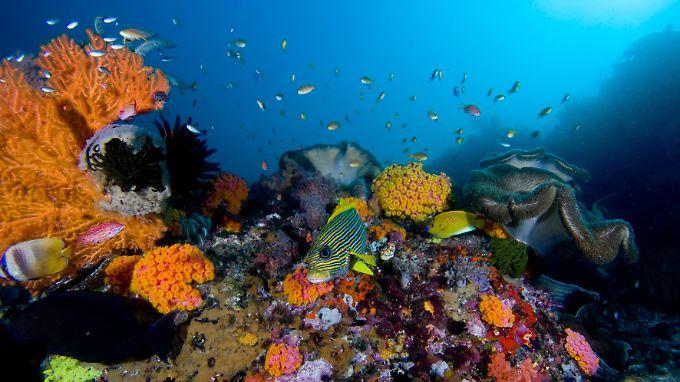 Korallenriff auf den Raja-Ampat-Inseln im Süden Indonesiens.